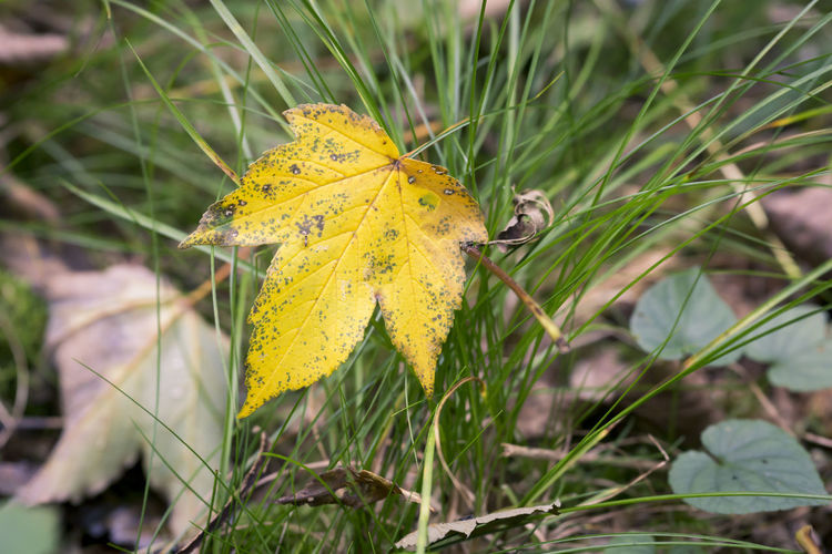 Autumn Autumn Colors Autumn Leaves Grass Green Nature Beauty In Nature Change Close-up Focus On Foreground Forest Floor Harewood In The Forest Leaf Maple Maple Leaf Outdoors Season  Yellow