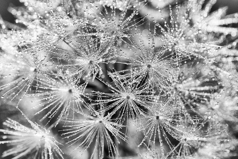 The Great Outdoors - 2017 EyeEm Awards Macro shot of a dandelion in the yard, shot first thing in the morning to capture the dew droplets. Would make a nice print ;) Backgrounds Beauty In Nature Close-up Dandelion Dandelion Collection Dandelion Seed Dandelion Seeds Dandelionfluff Day Dew a:200441] Focus On Foreground Fragility Freshness Full Frame Growth Macro_flower Macro Photography Nature Nikon D810 No People Outdoors Plant weeds are beautiful too Art Is Everywhere Black And White Friday