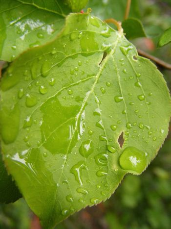 Beauty In Nature Day Dew Drop Droplet Focus On Foreground Fragility Freshness Green Green Color Growth Leaf Leaves Natural Pattern Nature No People Plant Purity Season  Selective Focus Water