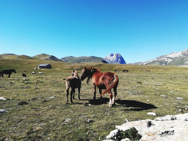 The mare and her foal Mammal Breeding Animals Animal Themes Livestock Animal Husbandry Prairie Nature Outdoor Park Foal Mare Love Gran Sasso Abruzzo Italy Horses Mountain Clear Sky Sky