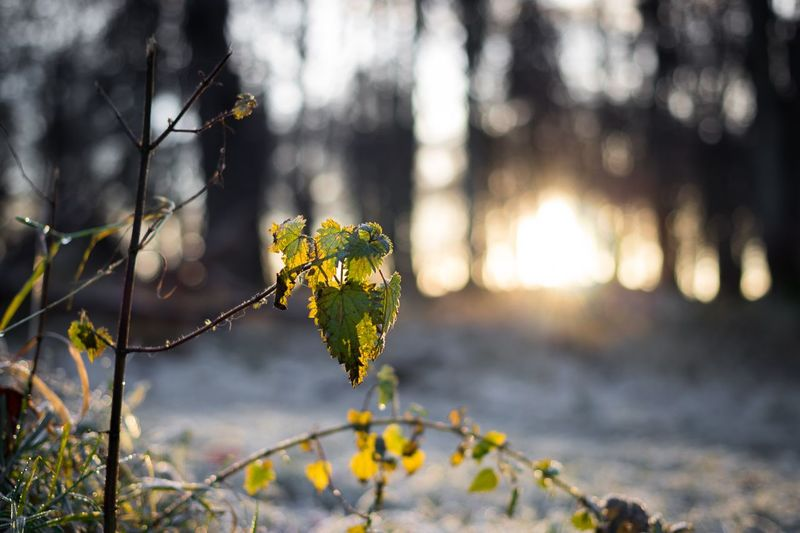 Morning frost Frost Sunset Sunrise EyeEm Selects Plant Tree Focus On Foreground Nature Growth Beauty In Nature Outdoors No People Sunlight Tranquility Branch Close-up Plant Part Leaf Vulnerability  Winter Change Day Fragility