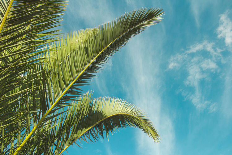 Palm Tree Tropical Climate Leaf Palm Leaf Sky Tree Nature Cloud - Sky Low Angle View Plant Plant Part Beauty In Nature No People Day Environment Frond Green Color Growth Blue Scenics - Nature Wind Tropical Tree Outdoors Coconut Palm Tree Directly Below