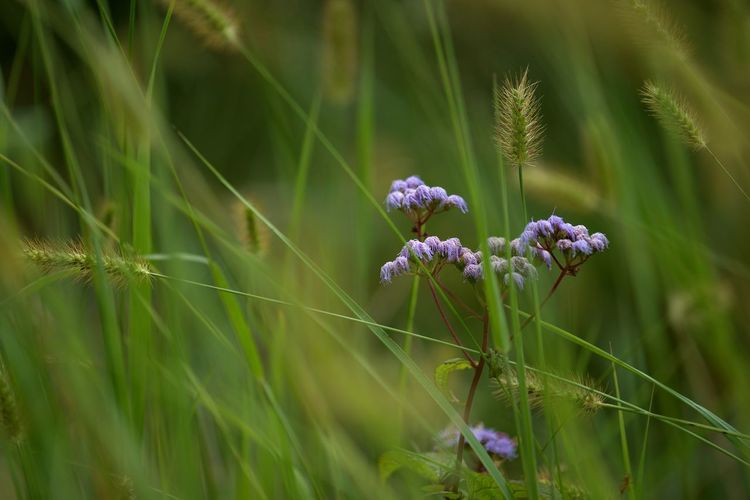 Plant Growth Flowering Plant Beauty In Nature Flower Vulnerability  Green Color Fragility Freshness Selective Focus Close-up Nature Day No People Land Field Outdoors Tranquility Focus On Foreground Plant Stem Flower Head Purple