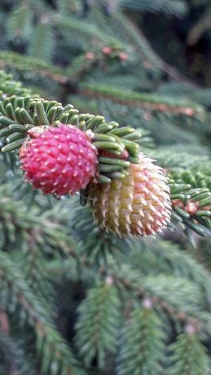 The pine seeds