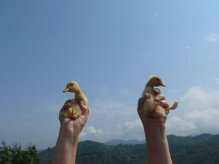 Cropped Image Of Hands Holding Ducklings Against Sky