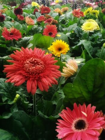 Flower Head Flower Red Petal Poppy Pollen Springtime Close-up Blooming Plant Gerbera Daisy Daisy In Bloom Blossom Botany Plant Life Chrysanthemum