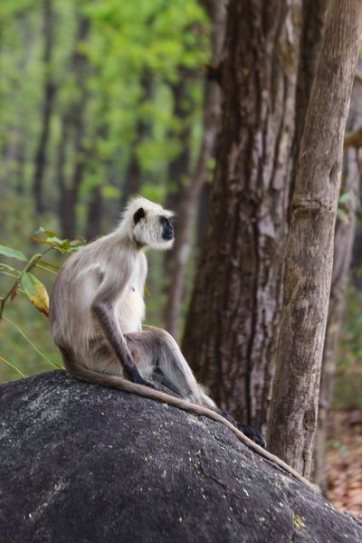 Wildlife Kanha National Park Kanha Monkey King Relax Blackface Monkeys Nature Forest