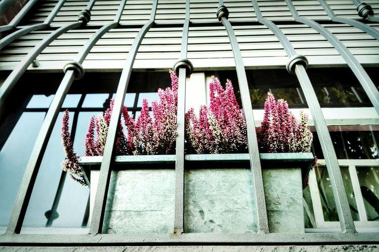 Heather Window Bars Flowering Heather Flower Collection EyeEm Nature Lover High Angle View No People EyeEm Best Shots - Flowers Window Reflections Close-up Growing Showcase: January Geometry Urban Greenery At The Window Pink Daylight Smile