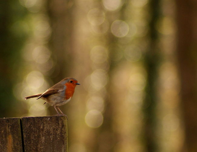 Animal Wildlife Animals In The Wild Bird One Animal Perching Nature Animal Themes Focus On Foreground No People Animal Songbird  Outdoors Living Organism Robin Beauty In Nature Close-up Branch Day Landscape Insect Wales