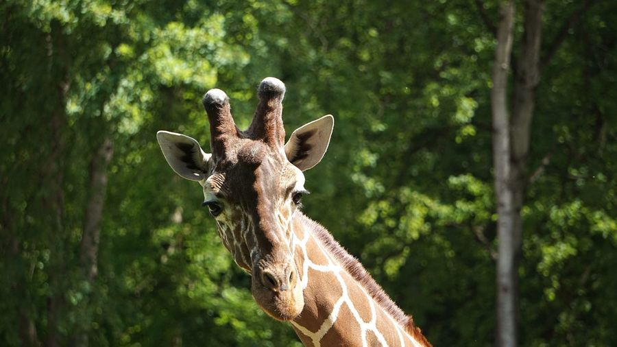 EyeEmBestPics Giraffe Animal Looking At Camera Zoobesuch Funny Faces Close-up Animal Body Part Taking Photos Check This Out Hello World Zoo Animals  Mammal No People Beauty In Nature EyeEm Best Shots Animal Face Eyem Nature Lovers  Beliebte Fotos