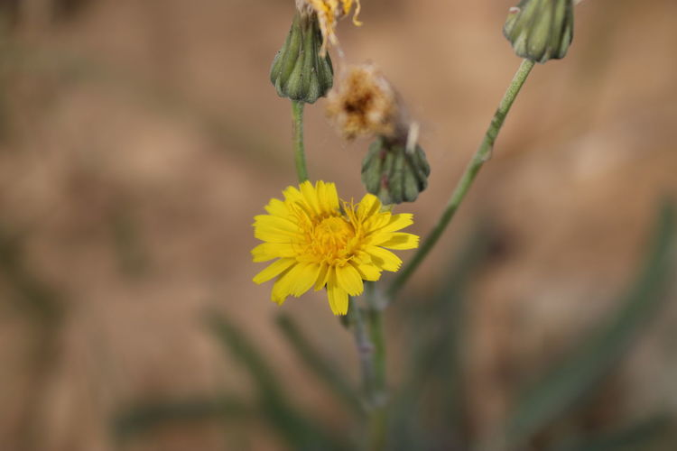 A beautiful yellow flower in the desert Flowering Plant Flower Plant Yellow Freshness Animal Wildlife Fragility Animal Animals In The Wild Vulnerability  Animal Themes Petal Beauty In Nature Close-up Flower Head One Animal Growth Invertebrate Nature Insect No People Outdoors Pollination Flowering Plant Siwa Oasis