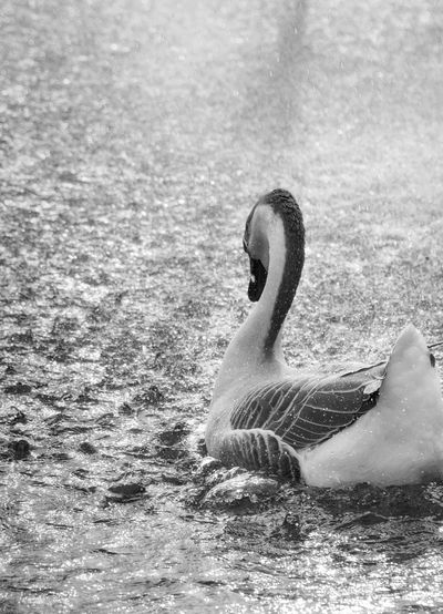 Close-up of swan swimming on lake