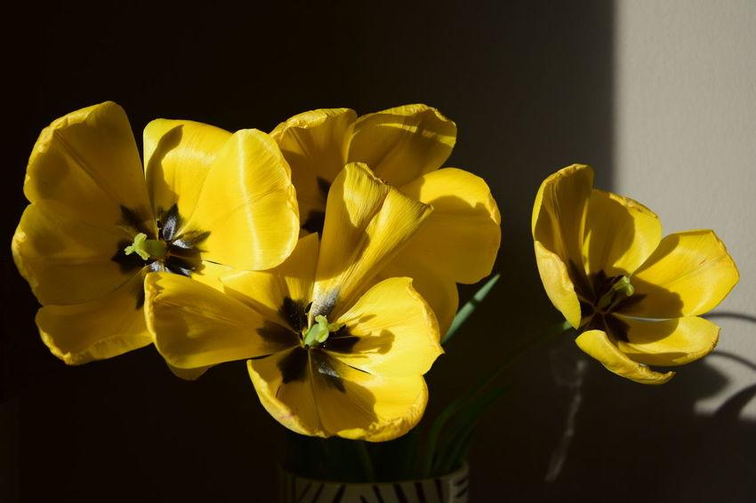 WIlting yellow tulips Tulips Flower Flower Head No People Petal Tulips Flowers Wilting Flowers Wilting Tulips Wilting Yellow Tulips Yellow