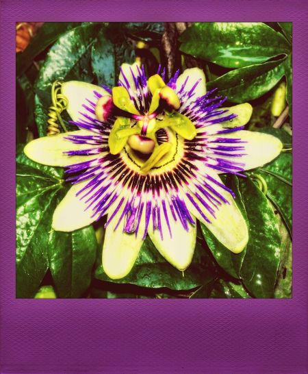 Passion Flowers Flowers Taking Photos Nature