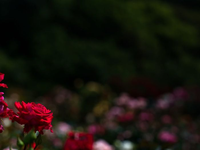 Love & passion🌹 Bokeh Simple Quiet Love Japan M.ZUIKO DIGITAL OM-D E-M5 MarkⅡ Olympus Tranquil Scene Tranquility Beauty In Nature Nature Light And Shadow Red Rose - Flower Flower Head Flower Flowering Plant Plant Fragility Day No People Outdoors Focus On Foreground