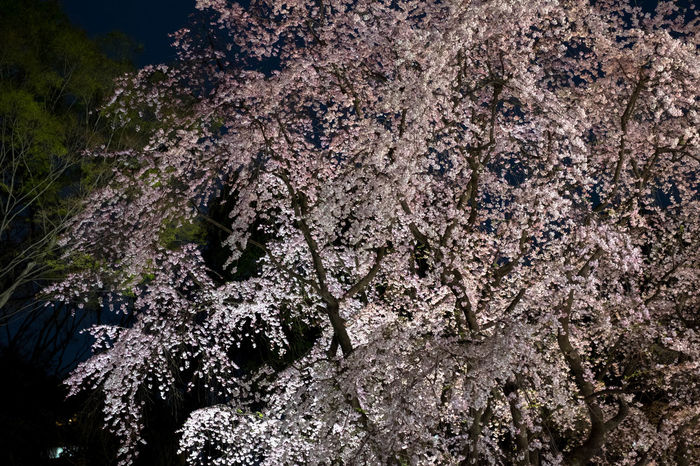 Cherry Blossoms Flower Japan Nature Night Pink Flower Rikugien Garden Sakura Sakura2016 Yozakura 六義園 夜桜 In Bloom Ultimate Japan