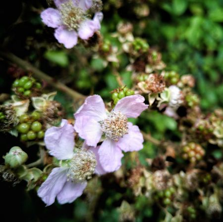 Bramble Flower. Bramble Flower Blackberry Blossoms Blackberry Flowers Blackberry Flower Blackberry Blossom Flower Petal Flower Head Fragility Nature Growth Beauty In Nature Freshness No People Day Outdoors Blooming Huawei P10 Plus EyeEmNewHere EyeEm Nature Lover 🍁🍂autumn EyeEm Nature Lovers Nature Beauty Nature Art Nature Is Art The Week On EyeEm