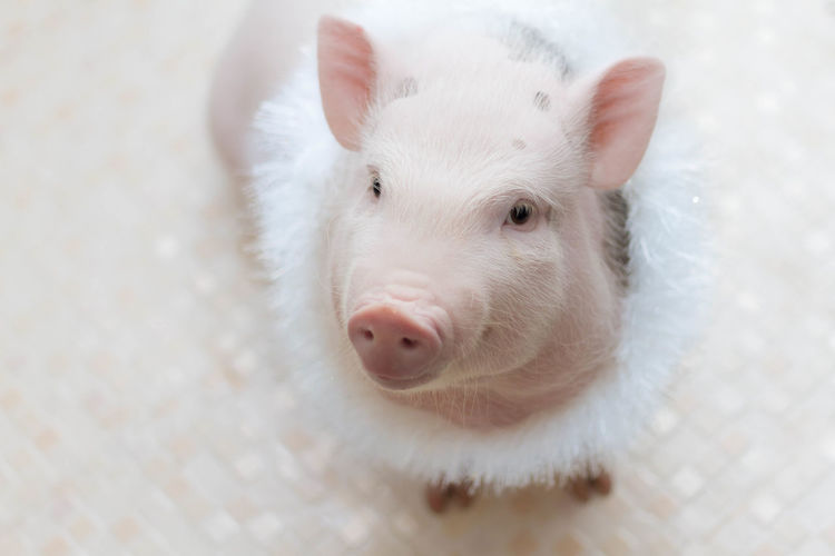 Cute pig on a