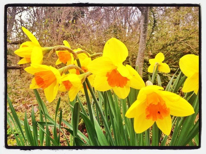 Saliendo Del Blanco #primavera #spring #flores #narcisos #flowers #valledellozoya #colors