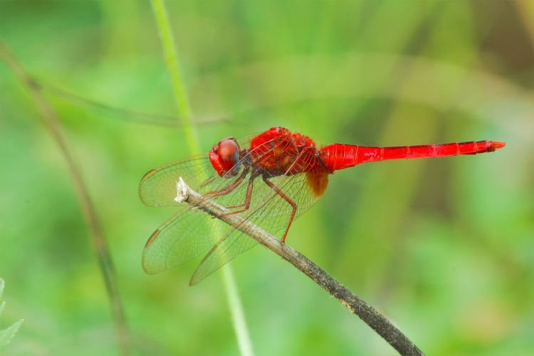 Invertebrate Animal Wildlife Insect Animal Themes Animal Animals In The Wild Red Close-up One Animal Focus On Foreground Plant Nature No People Day Green Color Animal Wing Dragonfly Zoology Outdoors Plant Stem