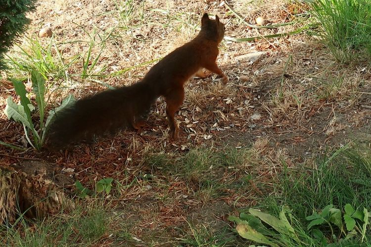 Eichhörnchen Squirrel Animal Animal Themes Mammal Nature Sunlight One Animal Vertebrate Animals In The Wild Animal Wildlife Field Land No People Shadow High Angle View Day Grass Plant Outdoors Domestic Animals Pets