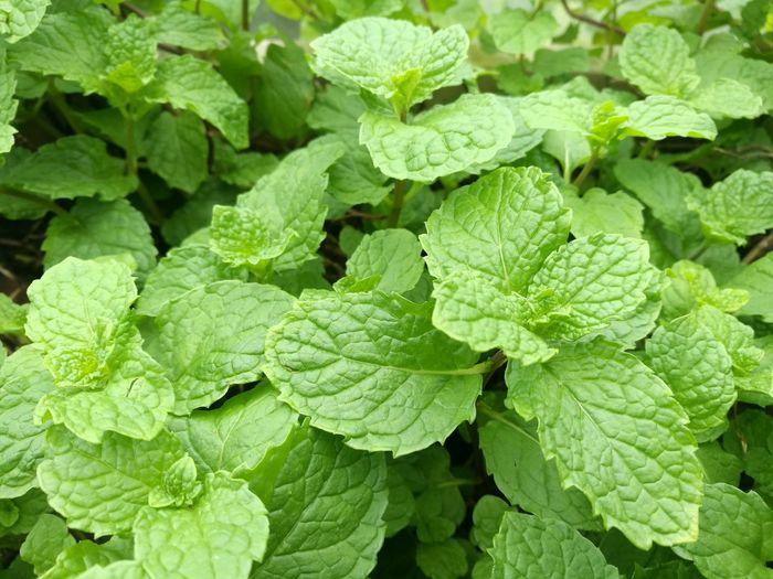 薄荷 薄荷 葉子 綠色 香料