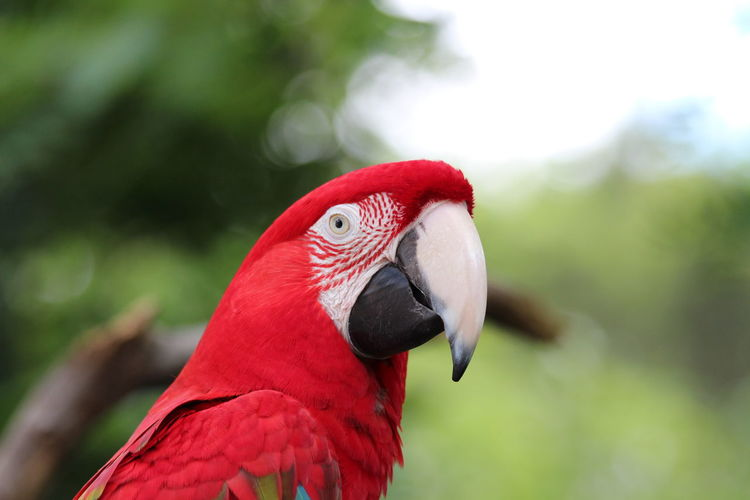 Close-up of red parrot