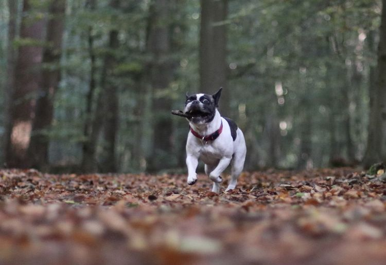 80d Bulli Canon 80D Canon Eos 80d Dog Dog In The Forest Dog Portrait Dogs Dogs Of EyeEm Eos80d Forest Französische Bulldogge  French Bulldog Frenchbulldog Frenchie Hund Hund In Aktion Hunde Hundefotografie Hundeportrait In The Forest In The Woods Nature_collection Outdoors Pets