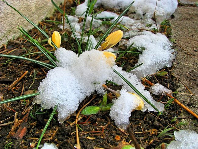 Transylvania Beauty In Nature Close-up Cold Temperature Crocus Day Field Flower Fragility Freshness Growth High Angle View Nature No People Outdoors Snowdrop White Color Winter