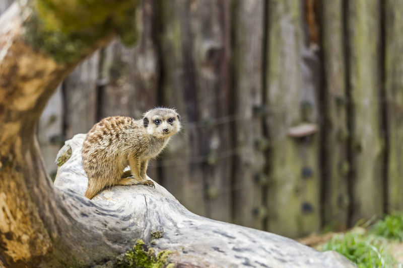 meerkat Funny Meerkat Safeguard Animal Animal Themes Animal Wildlife Animals In The Wild Close-up Cute Day Eyes Focus On Foreground Guard Mammal Nature No People Observing One Animal Outdoors Park Rock - Object Squirrel Tree Tree Trunk Watching