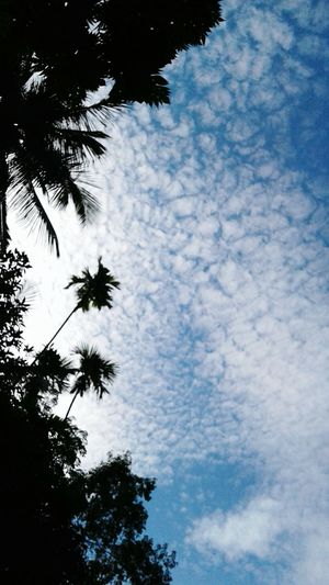 Sky & Nature Kandy SriLanka Coconut Trees And Beaches Clouds Aricanut Trees Tree Palm Tree Low Angle View Nature Sky Silhouette No People Outdoors Cloud - Sky Blue Beauty In Nature Day Growth Branch EyeEmNewHere