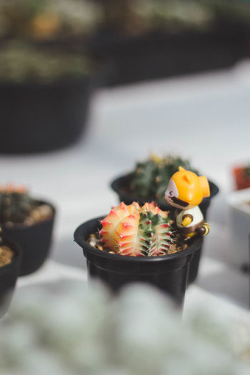 Close-up of succulent plant in pot