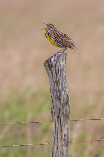 Animal Themes Animal Wildlife Animals In The Wild Bird Bird Photography Close-up Eastern Meadowlark Focus On Foreground Nature Nature Photography No People One Animal Perching Songbird  Sturnella Magna Wildlife & Nature Wildlife Photography
