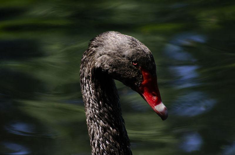 Close-up of black swan swimming in lake