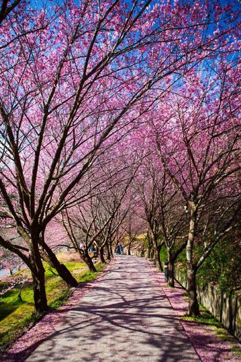 武陵農場櫻花步道