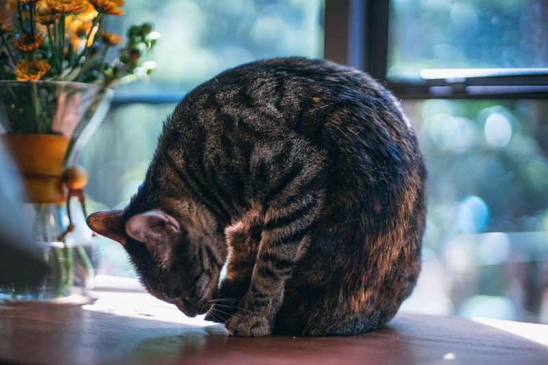 Domestic Cat Animal Themes Pets Pet Photography  Cute Pets Cat Lovers Ginger Cat Cat Cat♡ EyeEm China EyeEm Selects Pet Portraits