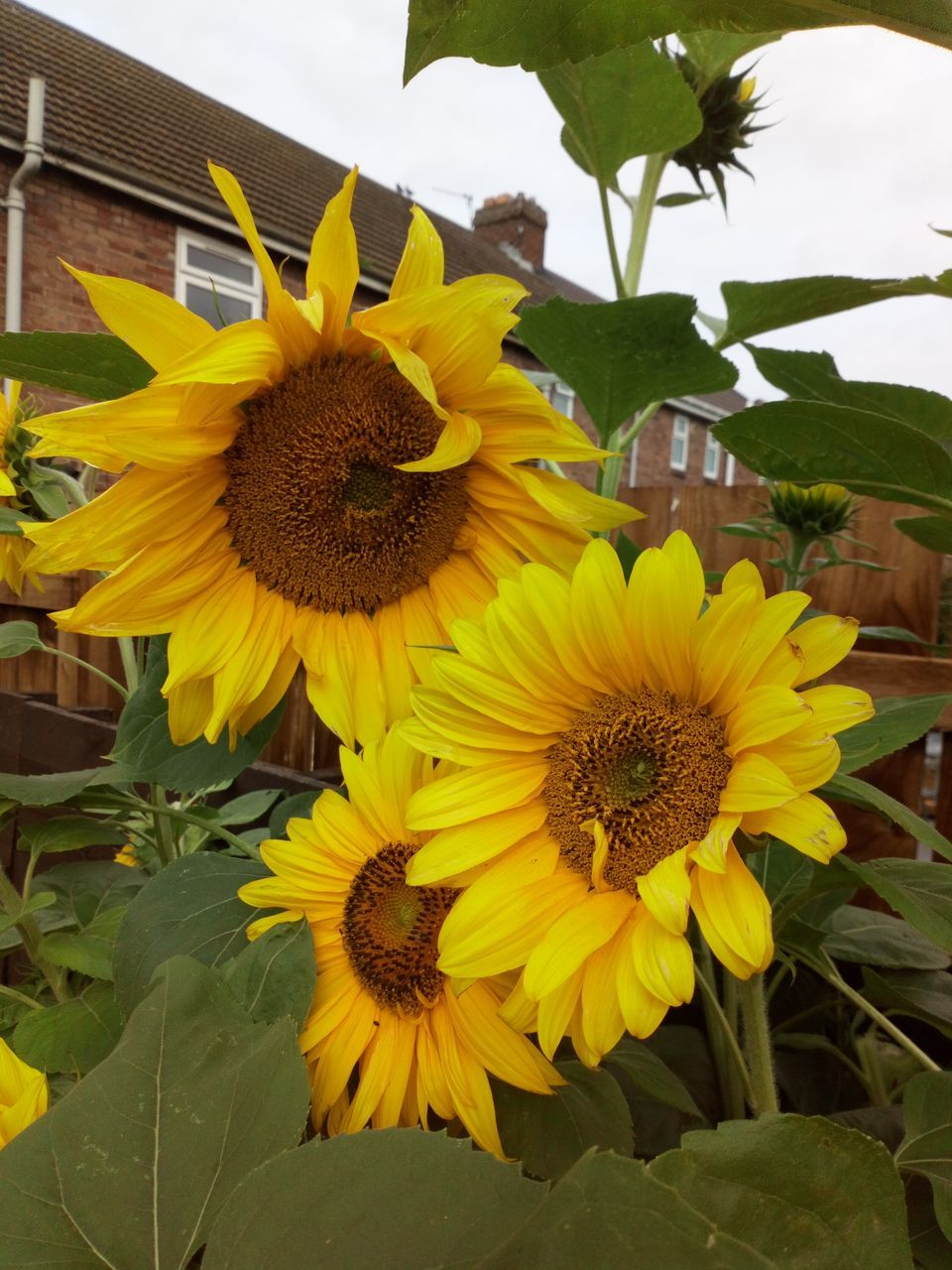 yellow, flower, plant, vulnerability, flowering plant, fragility, flower head, petal, freshness, inflorescence, growth, beauty in nature, close-up, nature, leaf, plant part, pollen, sunflower, no people, front or back yard, outdoors, flower arrangement