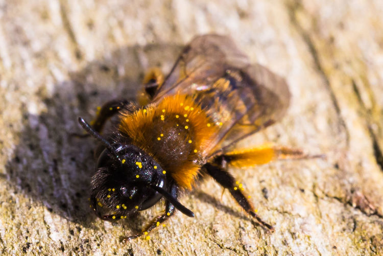 Hello Mrs. Bee Animal Head  Animal Themes Animals In The Wild Bee Bees Close Up Close Up Nature Close-up Insect Insect Photography Insects  Macro Macro Beauty Macro Nature One Animal Outdoors Trunk Trunk Detail