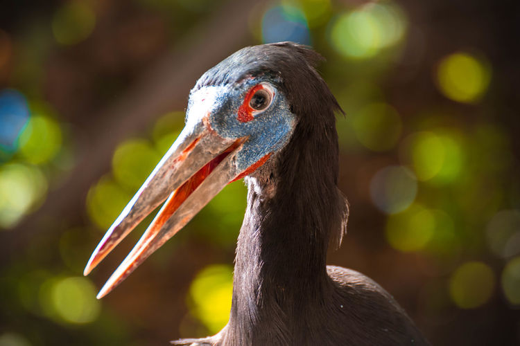 Close-up of abdims stork