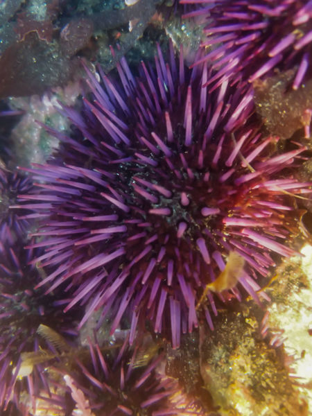 These were taking on mobile phone submerged underwater. Sea Urchin Animal Themes Animals In The Wild Beauty In Nature Close-up Day Nature No People One Animal Outdoors Purple Sea Sea Life UnderSea Underwater Water