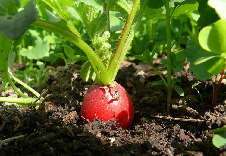Agriculture Alte Sorte Bioanbau Close-up Day Field Food Food And Drink Fragility Freshness Fruit Growth Healthy Eating Leaf Nature No People Outdoors Plant Radieschen Radish Red ökoanbau