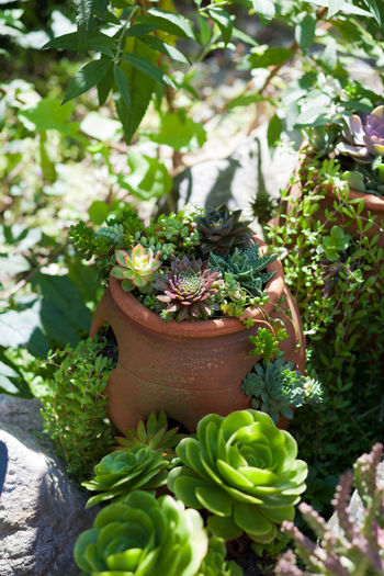 Stonecrops Succulents Beauty In Nature Close-up Day Freshness Green Color Growth Leaf Nature No People Outdoors Plant Potted Plant Succulent Succulent Garden Succulent Plant