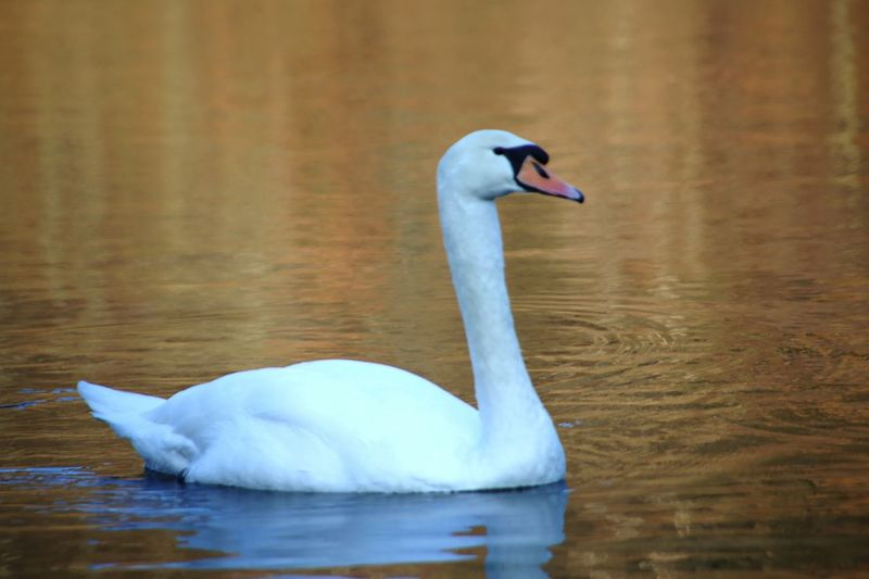 Beauty EyeEm Selects Animals In The Wild Animal Wildlife Bird Reflection One Animal Nature Lake Beauty In Nature Animal Themes No People Outdoors Day Close-up Swan Water
