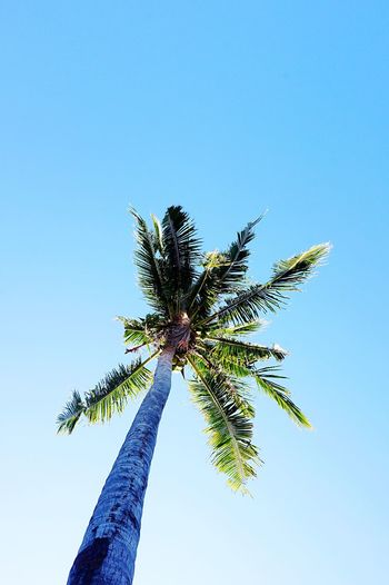 Palm Tree Low Angle View Tree Growth Nature Clear Sky No People Outdoors Day Tree Trunk Branch Beauty In Nature Palm Frond Sky Freshness Green Color Coconut Tree Eyeem Philippines From Below