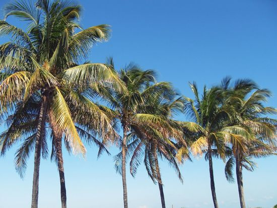 Ach, Sommer. Palm Tree Blue Tree Vacation Holiday Clear Sky Tropical Climate Tall - High Growth Palm Frond Tropical Tree Summer Beach Travel South America Tranquility Sky Nature Tranquil Scene Beauty In Nature Scenics Tourism