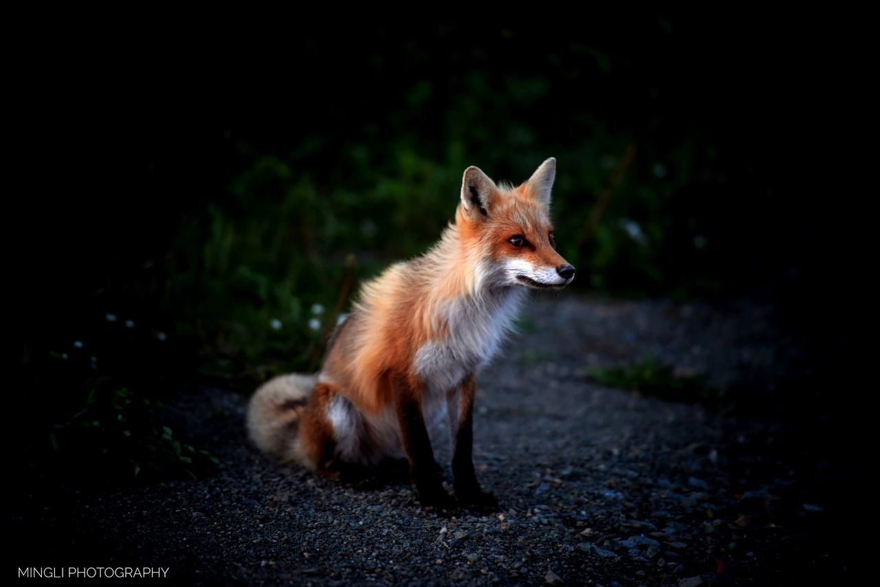 one animal, animal, animal themes, mammal, fox, vertebrate, animal wildlife, animals in the wild, no people, looking away, nature, land, night, field, standing, domestic, looking, outdoors, focus on foreground