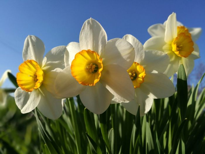 Close-Up Of White Daffodil Flowers Against Sky