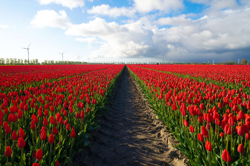 Tulpen symmetrie Beauty In Nature Cloud - Sky Dronten Europe Field Flevoland Flower Landscape Nature Outdoors Red Scenics Sky The Netherlands Tranquility Tullips Tulpen Perspectives On Nature