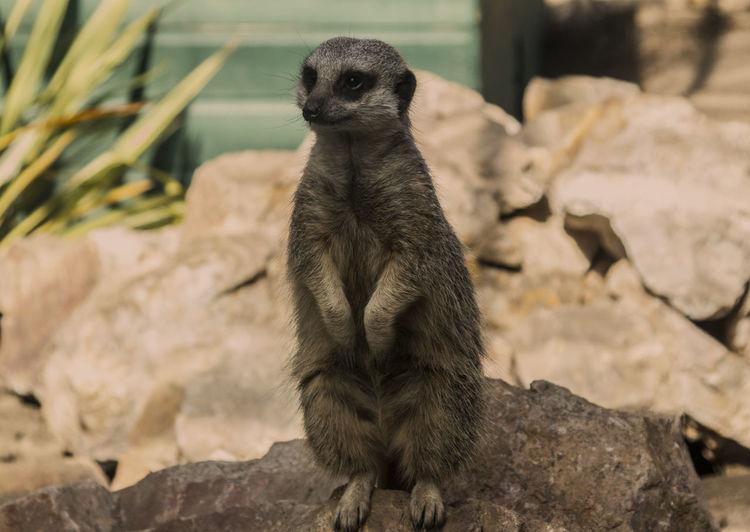 Meerkat Rearing On Rock At Zoo