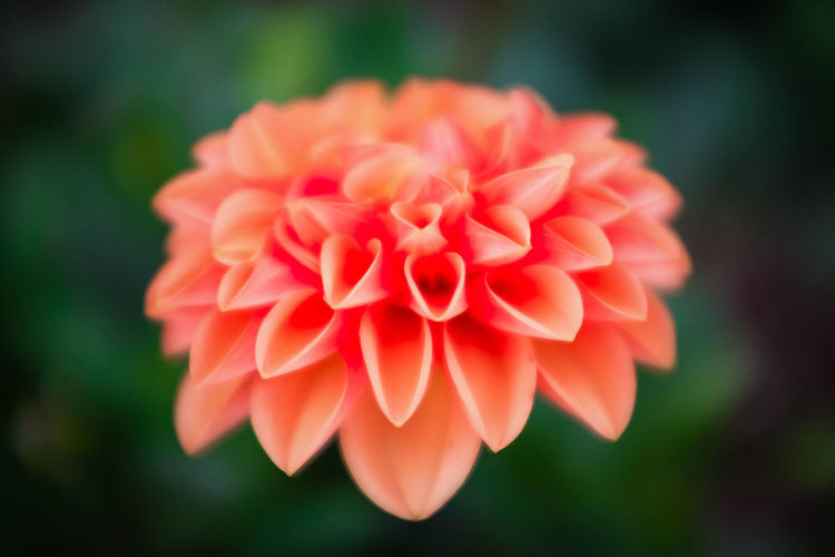 pretty peach Beauty In Nature Blooming Close-up Day Flower Flower Head Focus On Foreground Fragility Freshness Growth Nature No People Outdoors Petal Zinnia